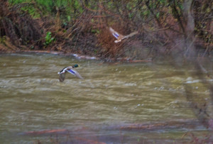 Ducks in Churn creek